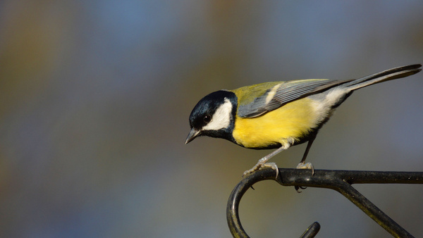great tit on pole