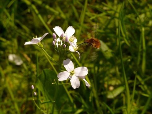 great wollschweber insect bombylius major