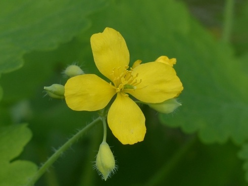 greater celandine flower yellow