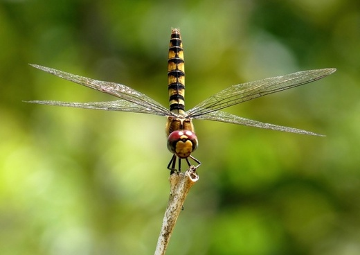 greater crimson glider dragonfly insect