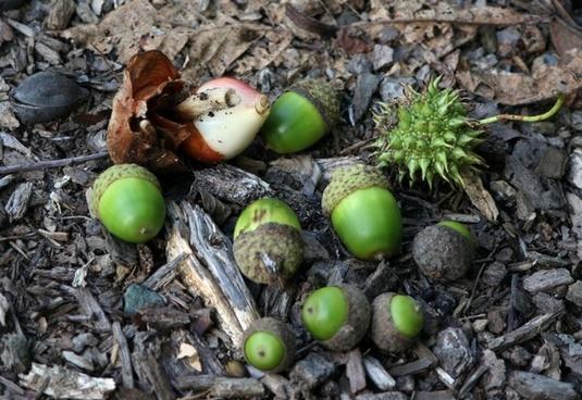 green acorns tulip bulb nuts