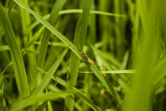 green grasshopper paddy field