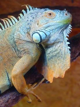 green iguana iguana reptile