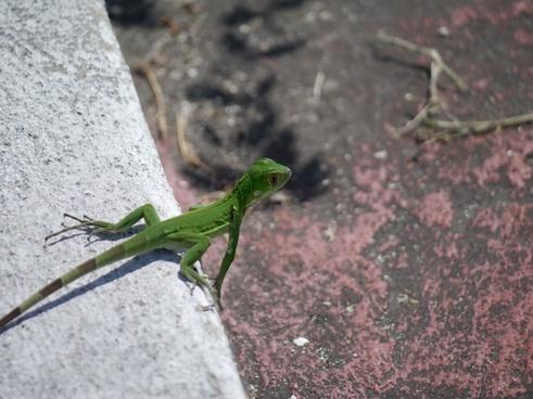 green iguana reptile iguana iguana