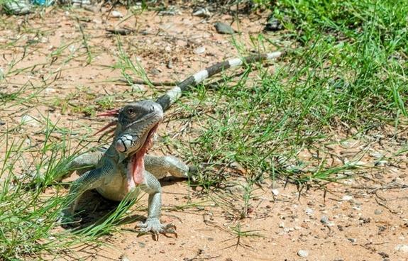 green iguana reptile lizard
