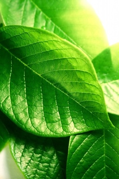 green leaf closeup highdefinition picture 2