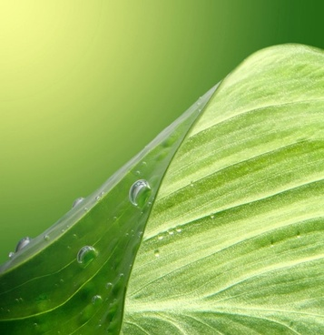 green leaf drops hd picture 4