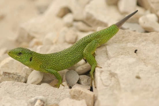 green lizard nature