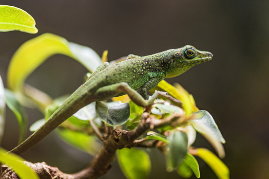 green lizard on the foliage