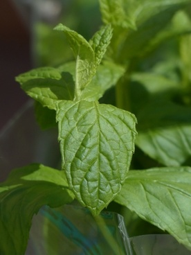 green mint kitchen herb mint