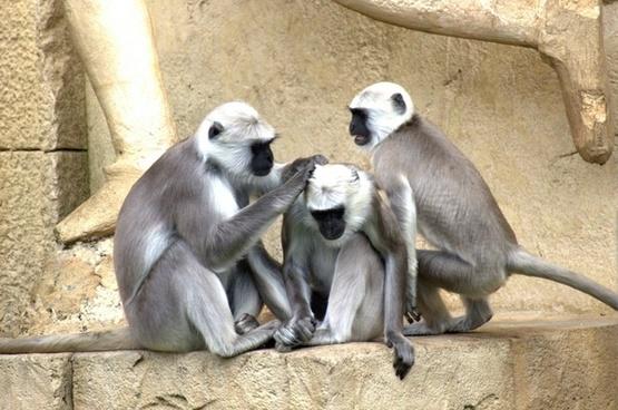 green monkeys monkey old world monkey
