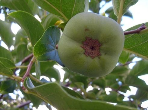 green persimmon
