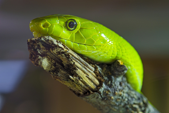 green snake portrait
