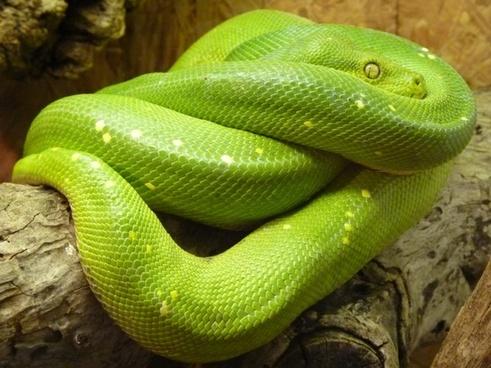 green tree python morelia viridis snake