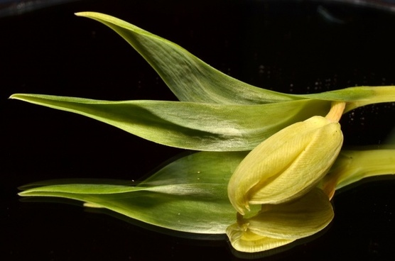 green tulip flower