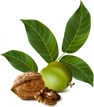 nature product icon ripe unripe walnut realistic design