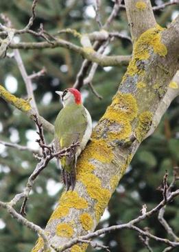 green woodpecker birds spring