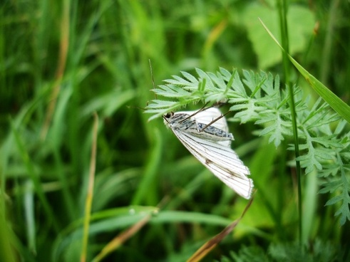 green-veined white meadow butterfly