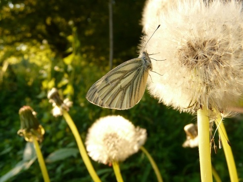green-veined white white ling butterfly