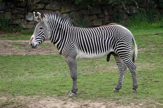 grevy039s zebra