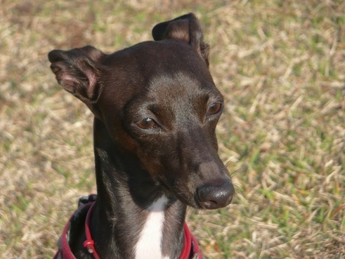 greyhound dog canine