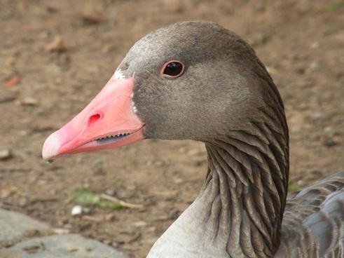 greylag goose anser anser goose