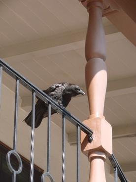 grim raven bird