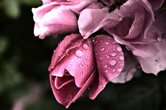 grindelwald flowers pink