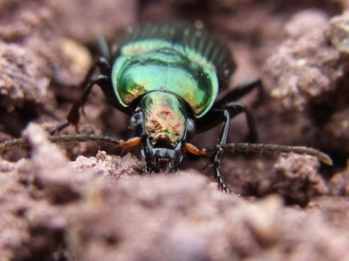 ground beetles insect nature