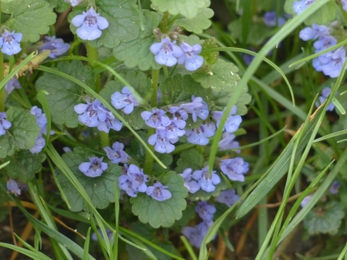 ground ivy flower plant