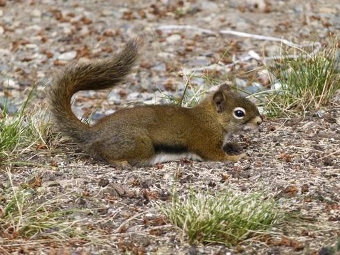ground squirrel animal outdoor