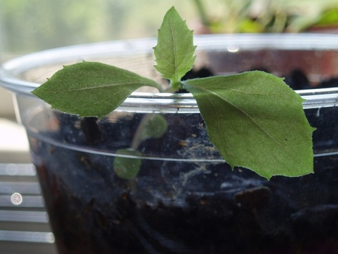 growing a seed in a cup