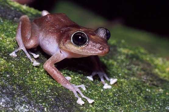 guajon frog tree