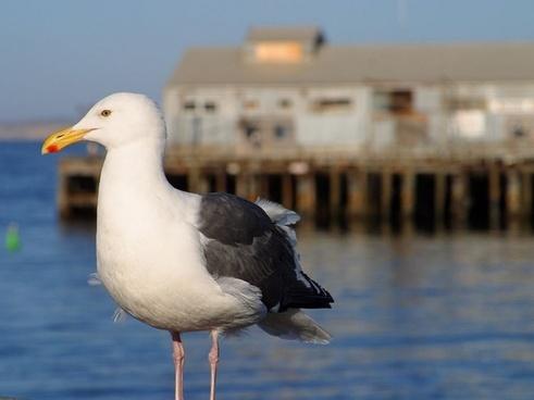 gull bill birds
