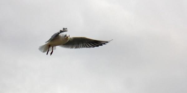 gull birds berlin