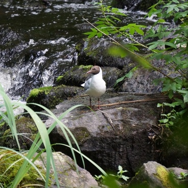 gull larus ridibundus white bird