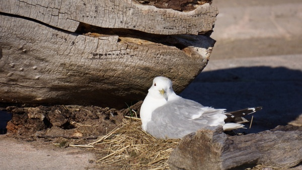 gull nest cooking up the nest