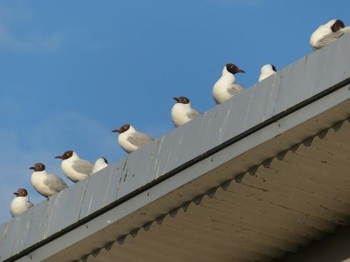 gulls animal birds