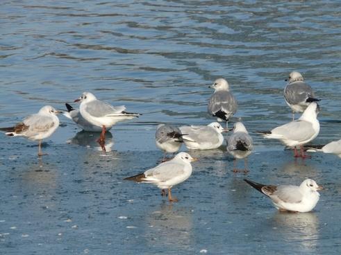 gulls birds waser
