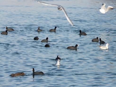 gulls coots water