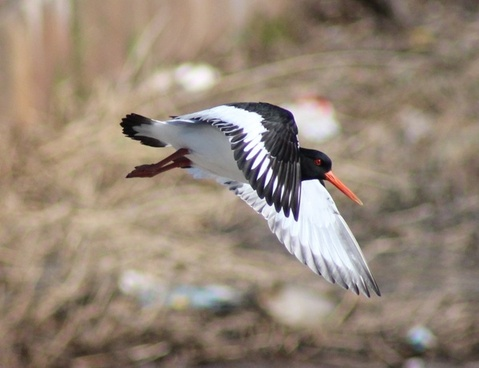 haematopus ostralegus bird flight