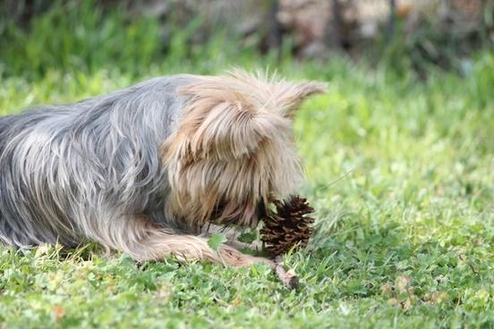 haley yorkie terrier