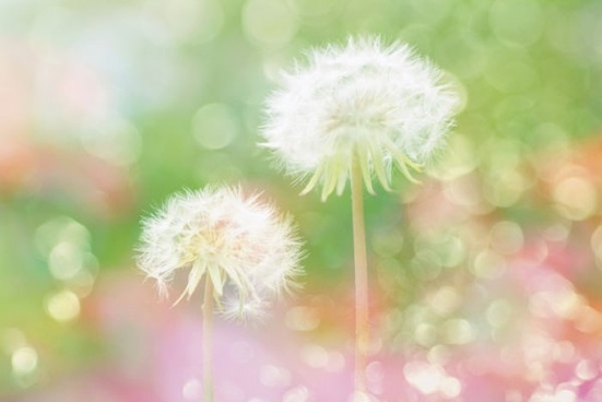 halo dandelion hd picture