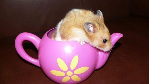 hamster animal pet