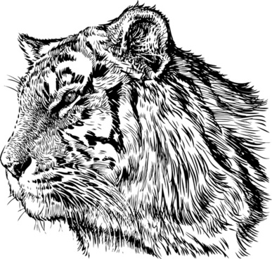 hand drawing tiger vector