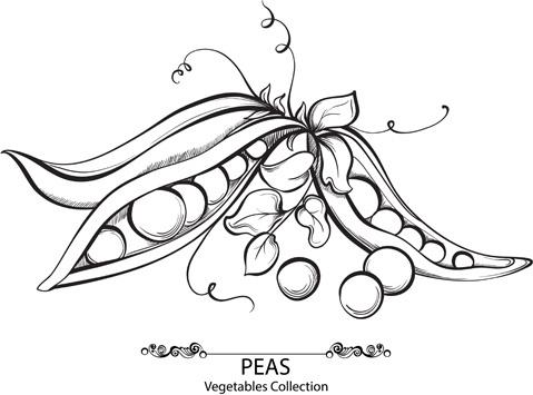 hand drawn peas vegetables vector