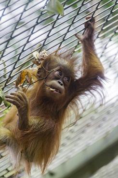 hanging baby orangutan