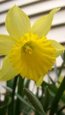 hanging daffodil