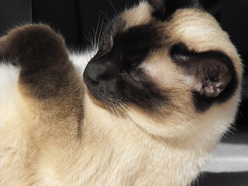 hangover cat siamese cat