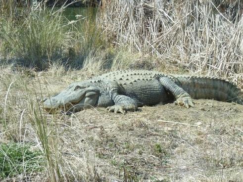happy alligator grass